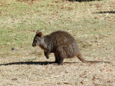 Un wallaby gourmand